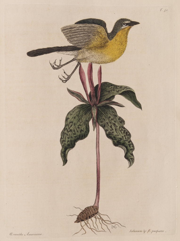 Detail of The yellow brested chat and the 'Solanum triphyllon' by Mark Catesby