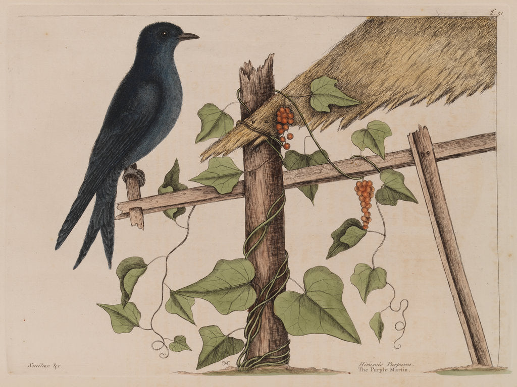 Detail of The purple martin and the 'Smilax (forte) lenis' by Mark Catesby