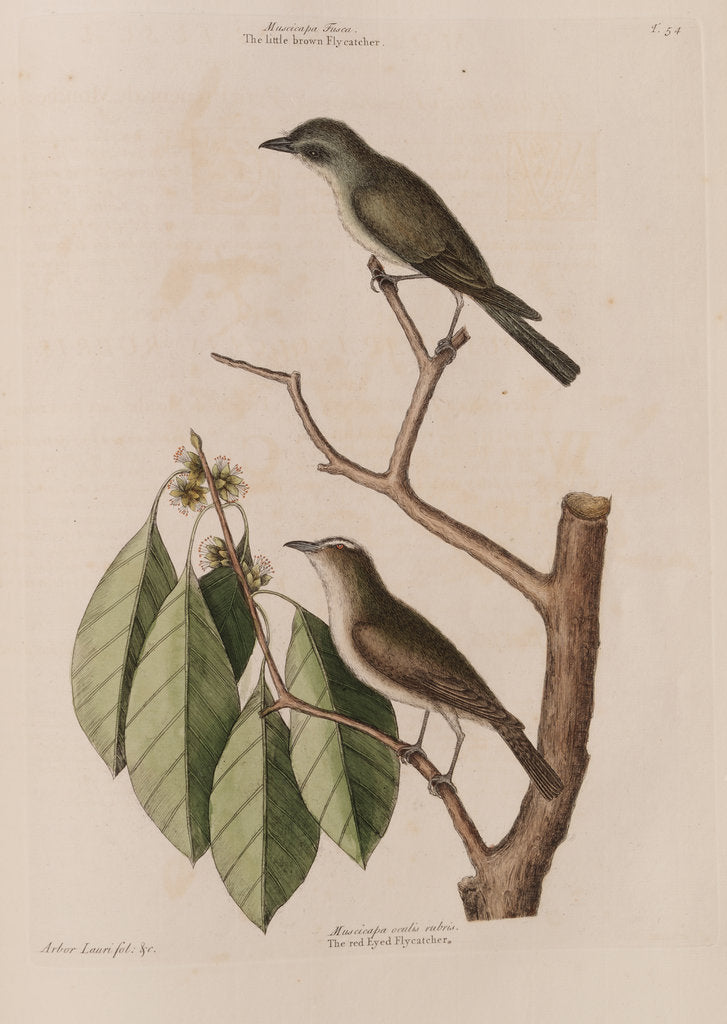 Detail of The 'little brown fly-catcher', the 'red ey'd flycatcher' and the 'arbor lauri folio' by Mark Catesby