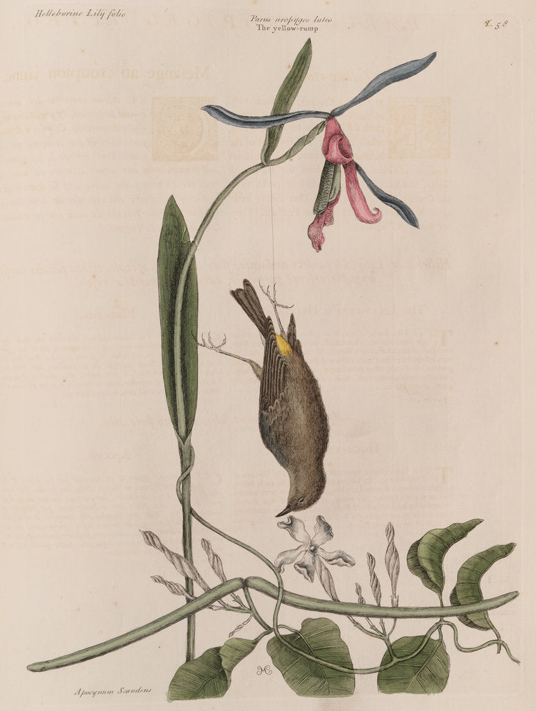 Detail of The 'yellow-rump', the 'lilly-leaf'd hellebore' and the 'dogs-bane' by Mark Catesby