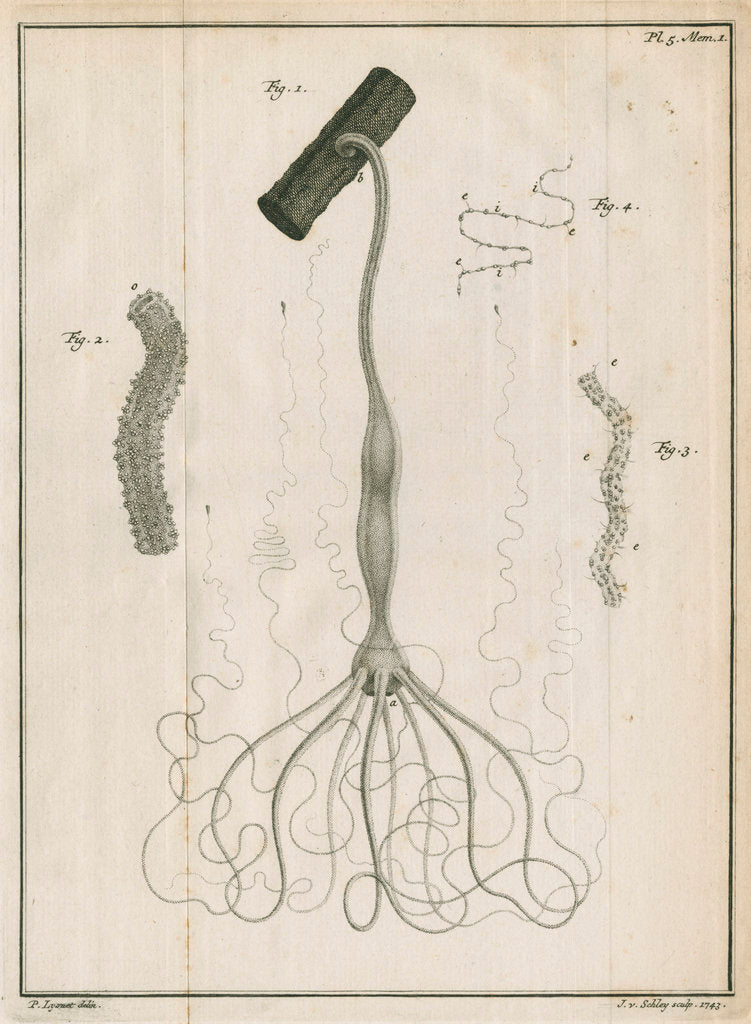 Detail of Freshwater hydra by Jacobus van der Schley