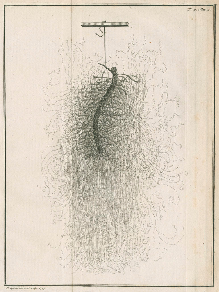 Detail of Freshwater hydra dissection by Pierre Lyonet