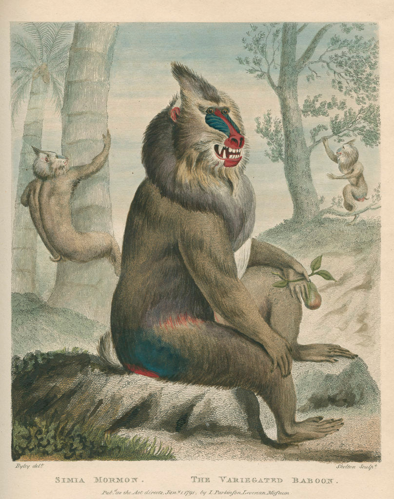 Detail of 'The Variegated Baboon' [Mandrill] by William Skelton