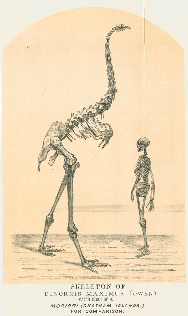 Detail of Skeletons of Moa and man by Lyttelton Times