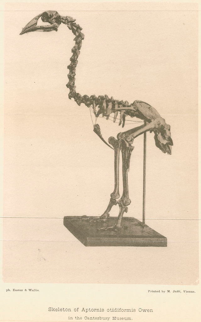 Detail of Skeleton of the Adzebill by Easter & Wallis