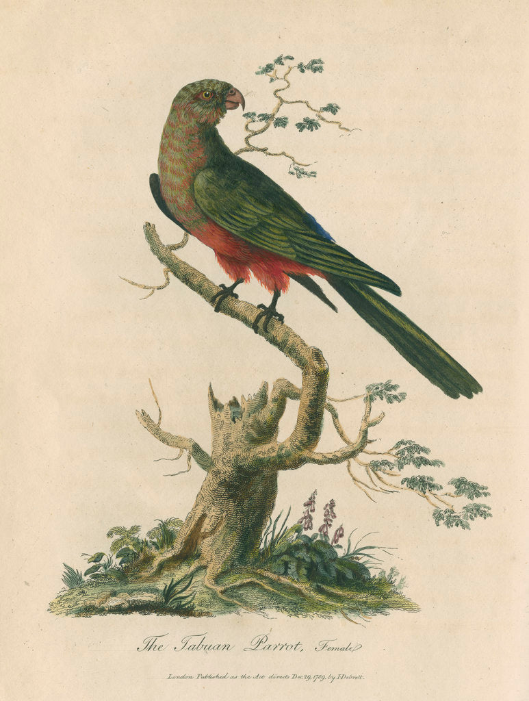'The Tabuan Parrot, Female' by Sarah Stone