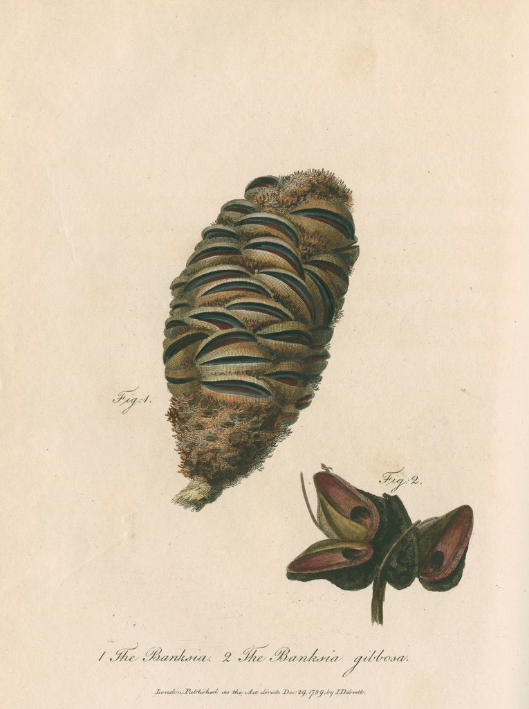 Detail of 'The Banksia' and 'Banksia gibbosa' by Frederick Polydor Nodder