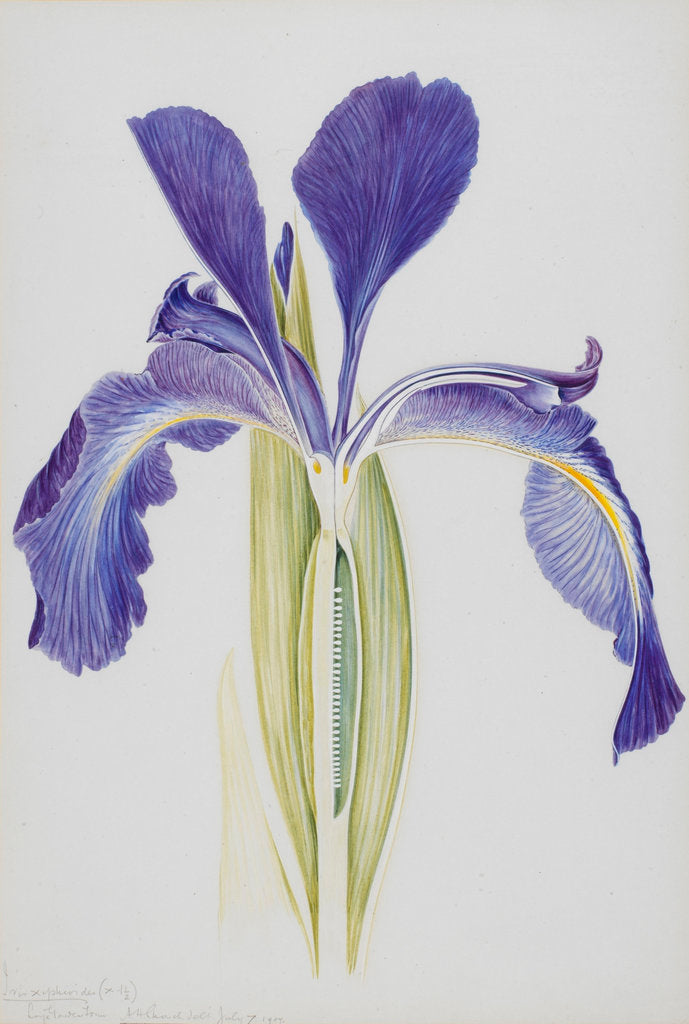 Detail of English Iris by Arthur Harry Church