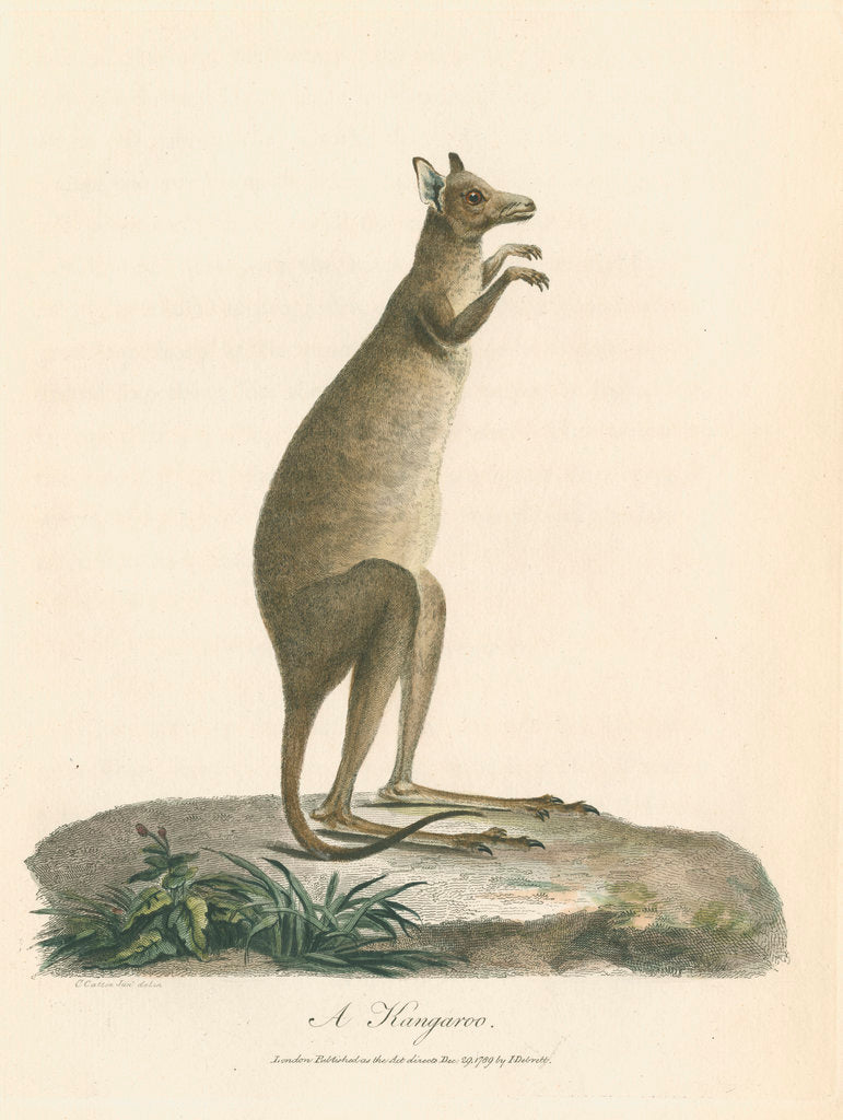 Detail of 'A Kangaroo' by Charles Catton the younger