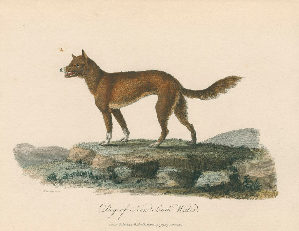 Detail of 'Dog of New South Wales' by Mortimer