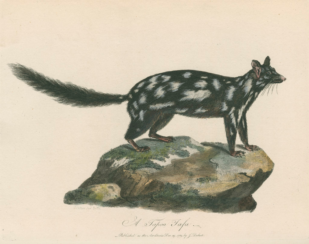 Detail of 'A Tapoa Tafa' [Eastern quoll] by Charles Catton the younger