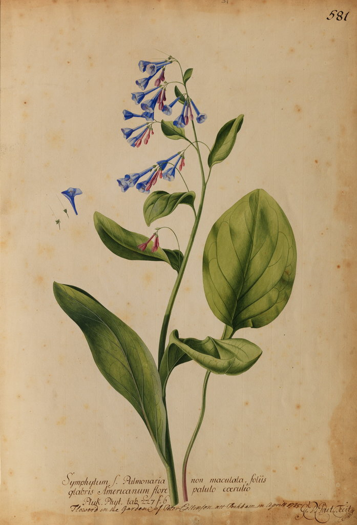 Detail of Symphytum S. Pulmonaria non maculata by Georg Dionysius Ehret