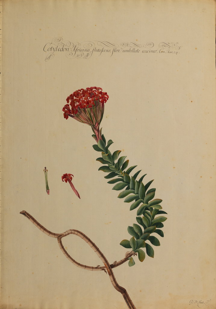 Detail of Cotyledon africana by Georg Dionysius Ehret