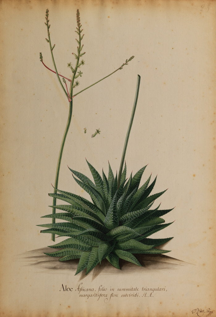 Detail of Aloe africana by Georg Dionysius Ehret