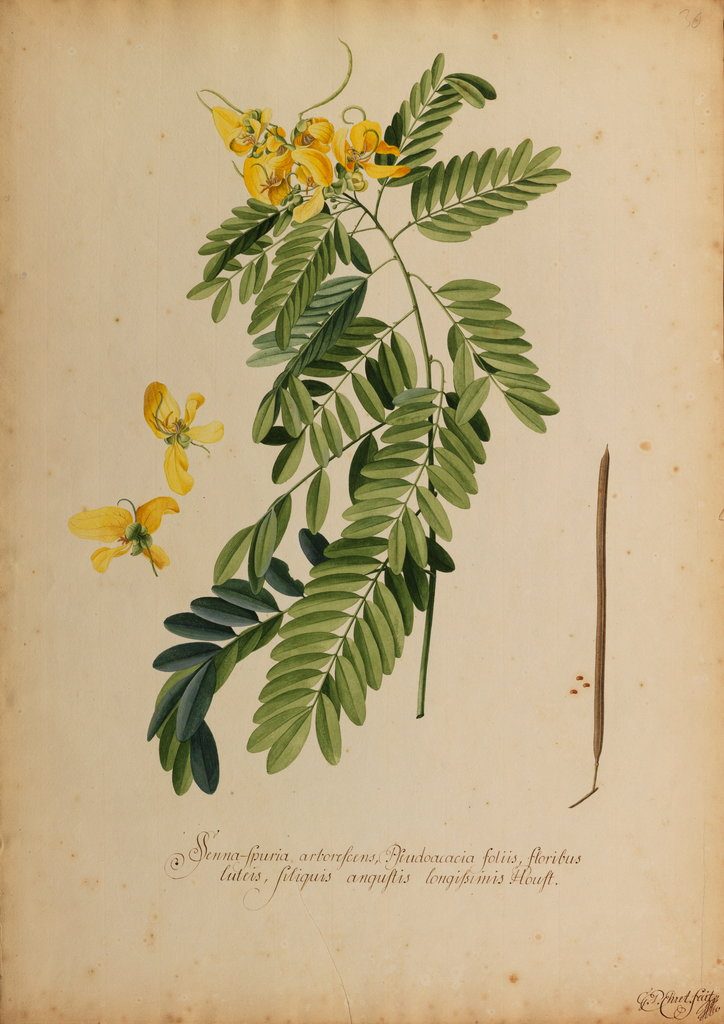 Detail of Senna-spuria arborescens by Georg Dionysius Ehret