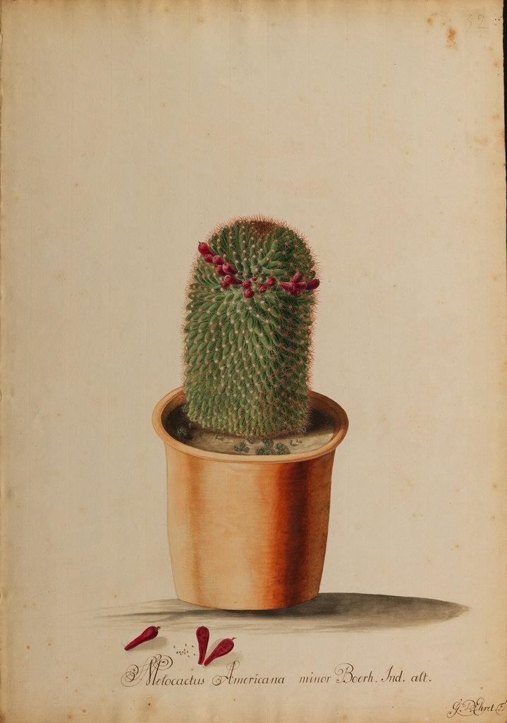 Detail of Melocactus americana minor Boerh by Georg Dionysius Ehret