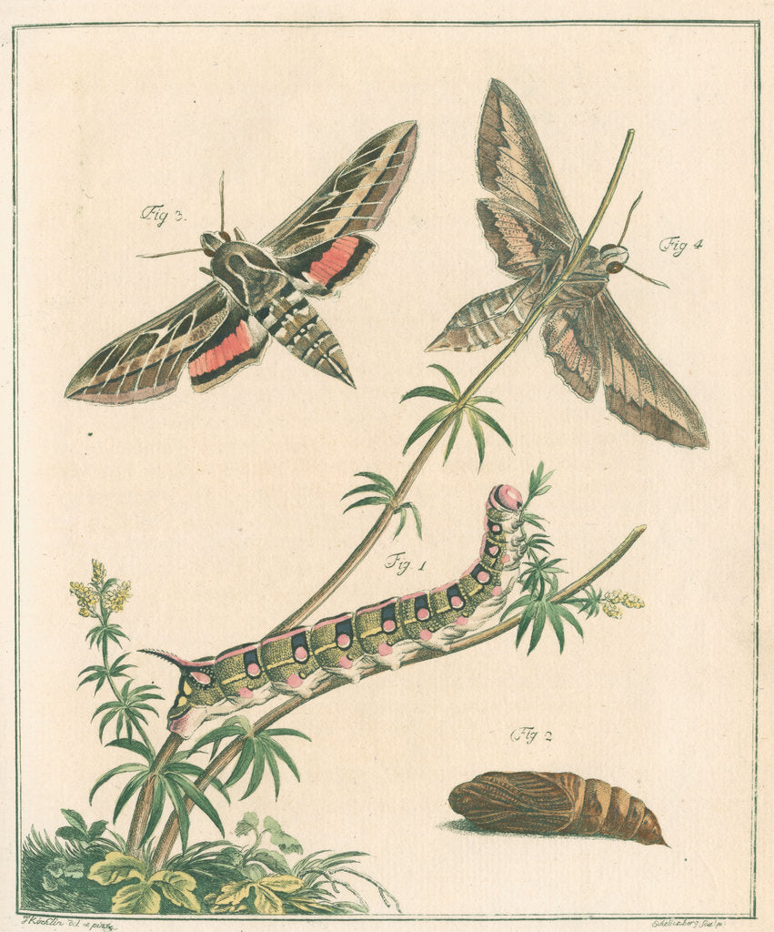 Striped hawk moth by Johann Rudolf Schellenbur