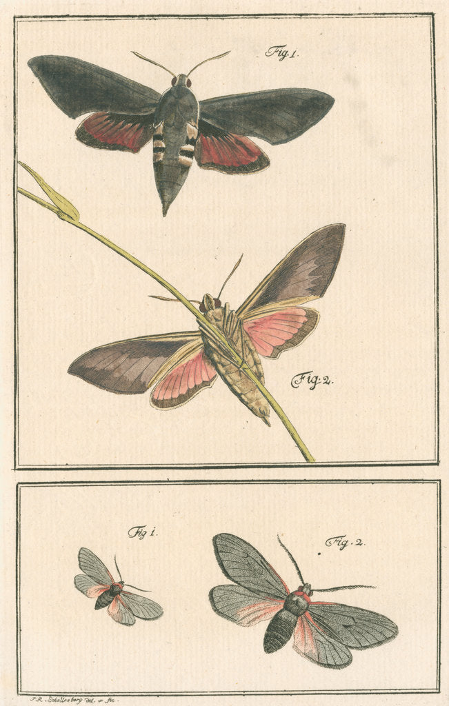 Detail of Studies of two moths by Johann Rudolf Schellenbur