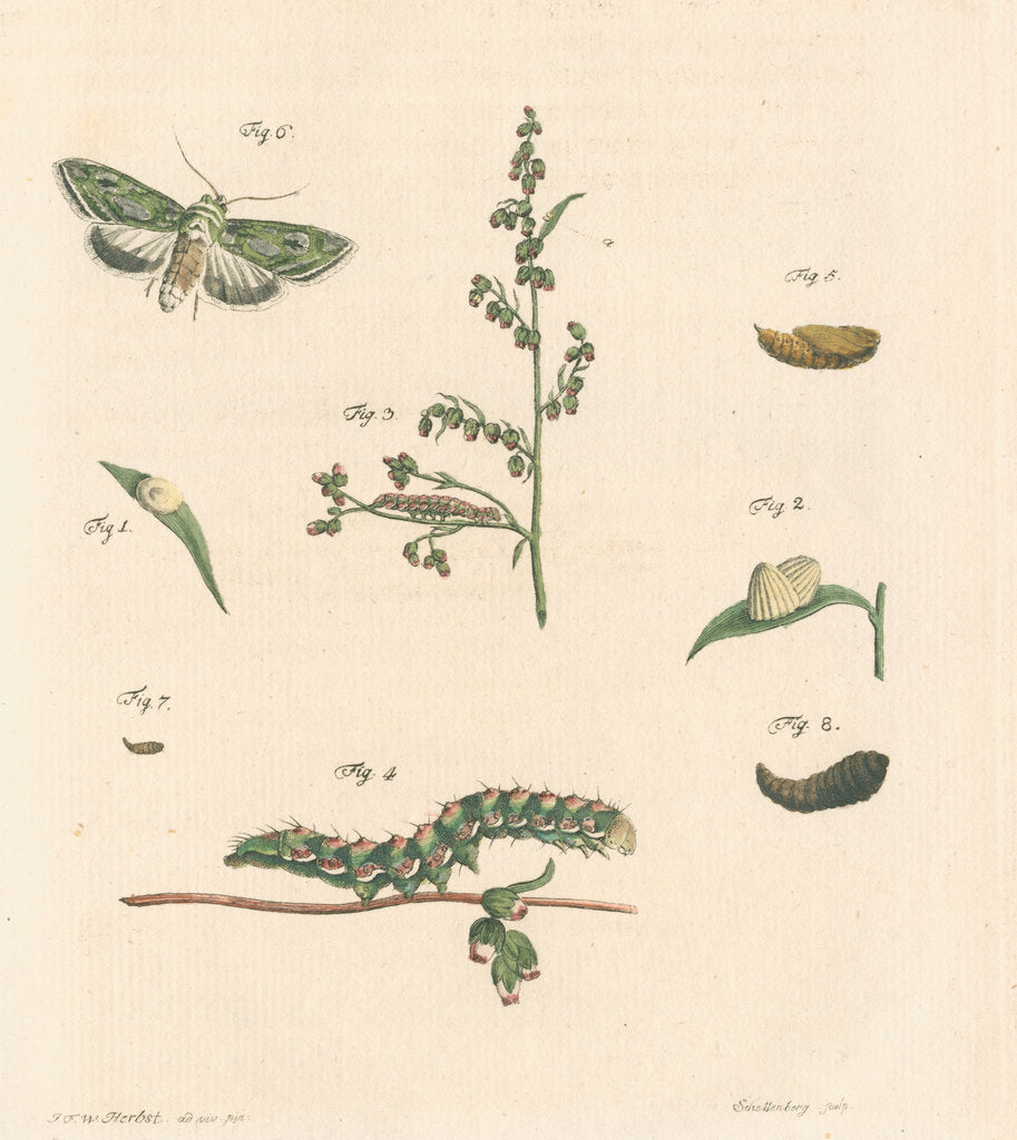 Detail of Green silver-spangled shark moth by Johann Rudolf Schellenbur