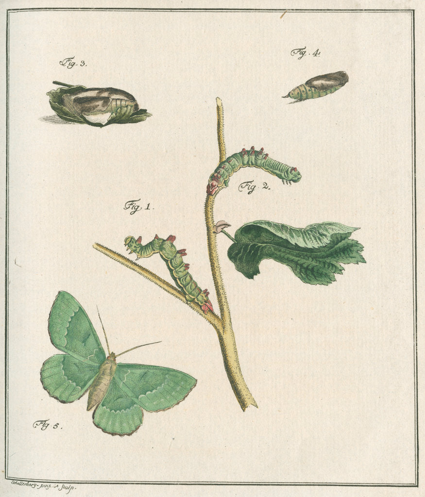Detail of Large emerald moth by Johann Rudolf Schellenbur