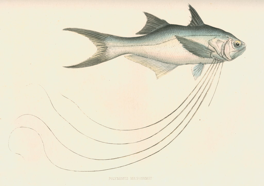 Detail of Polynemus macronemus by unknown