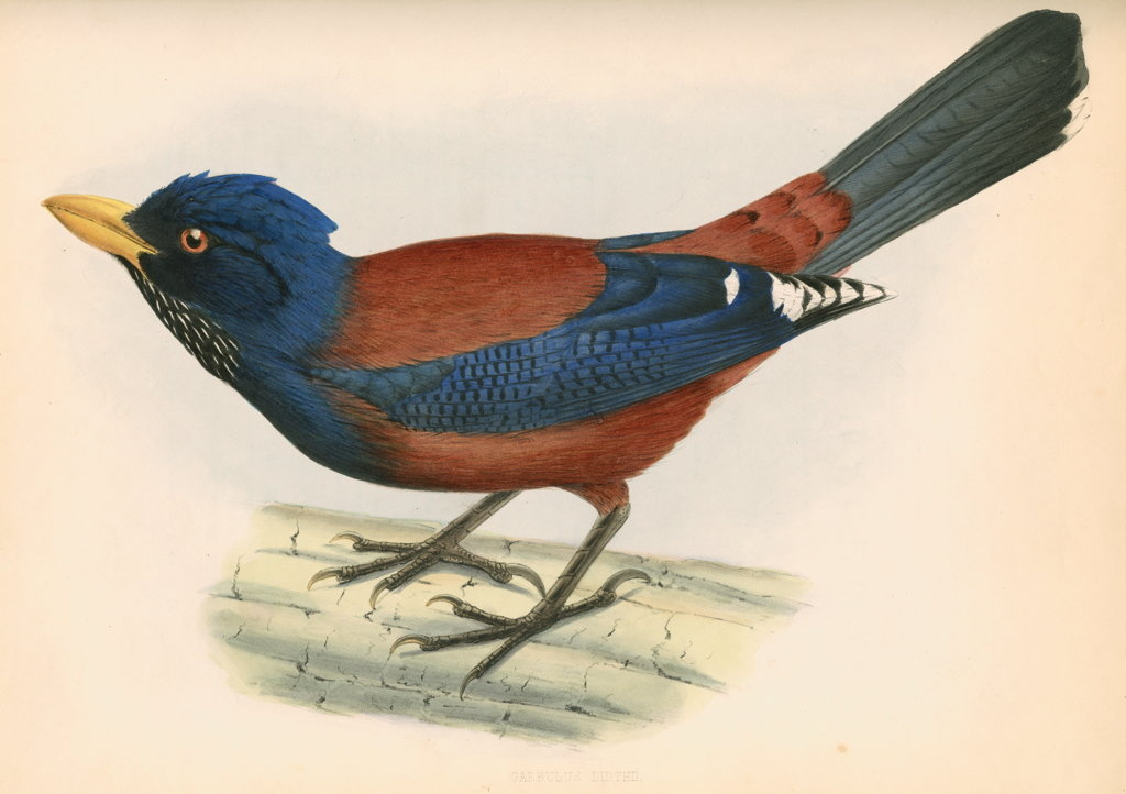 Detail of Garrulus lidthii by unknown