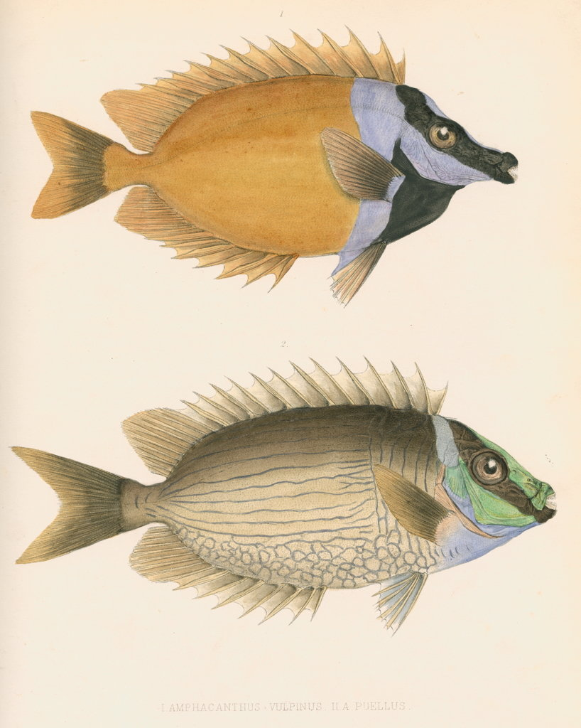 Detail of Studies of two fishes by unknown