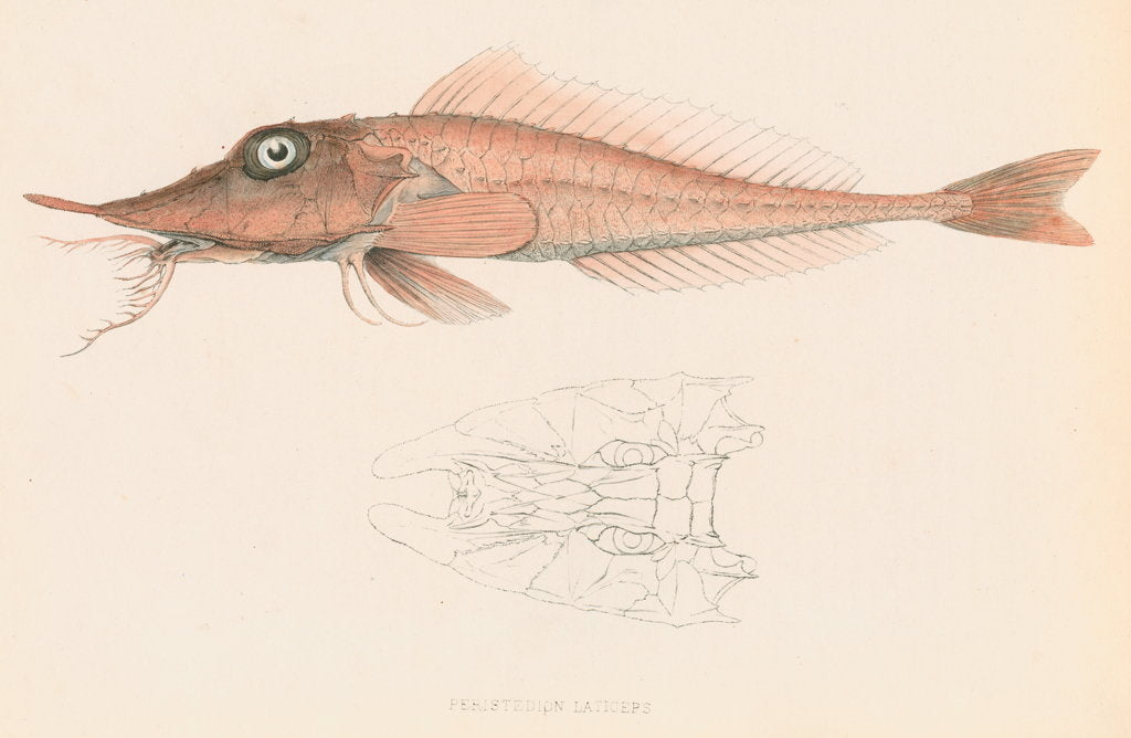 Detail of Peristedion laticeps by unknown
