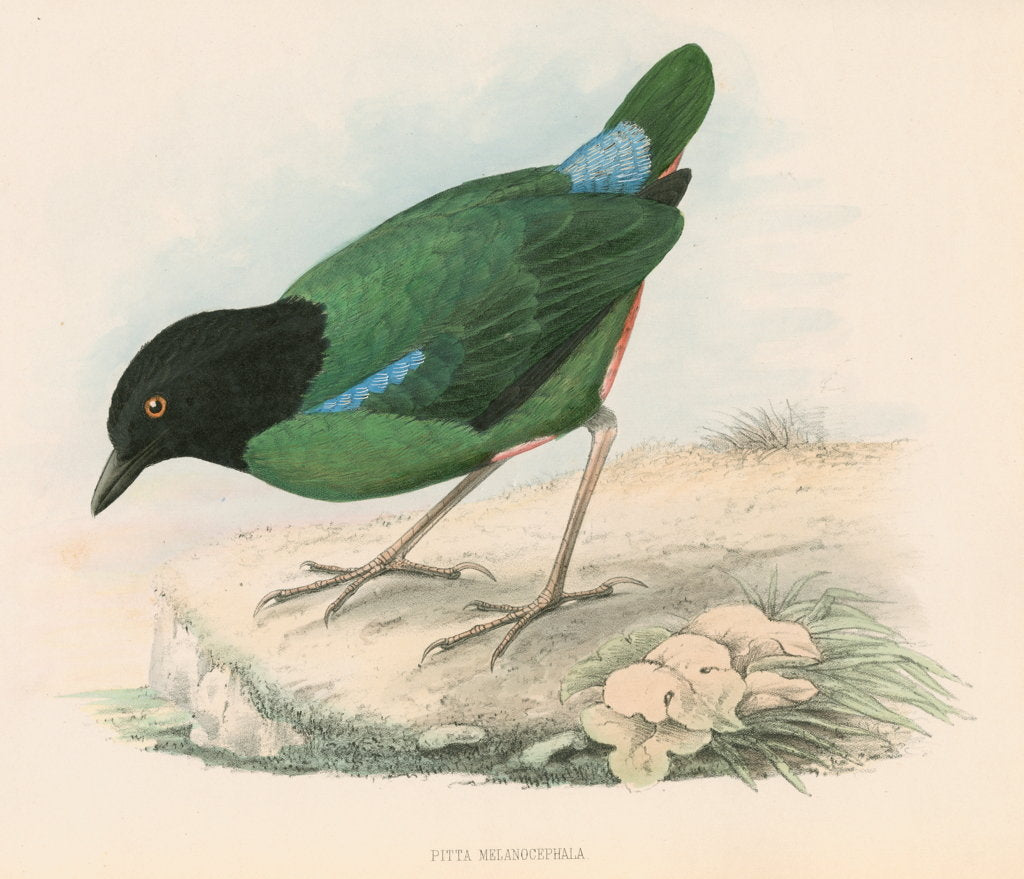 Detail of Pitta melanocephala by unknown