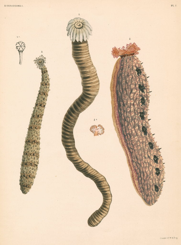 Detail of Sea cucumbers by unknown