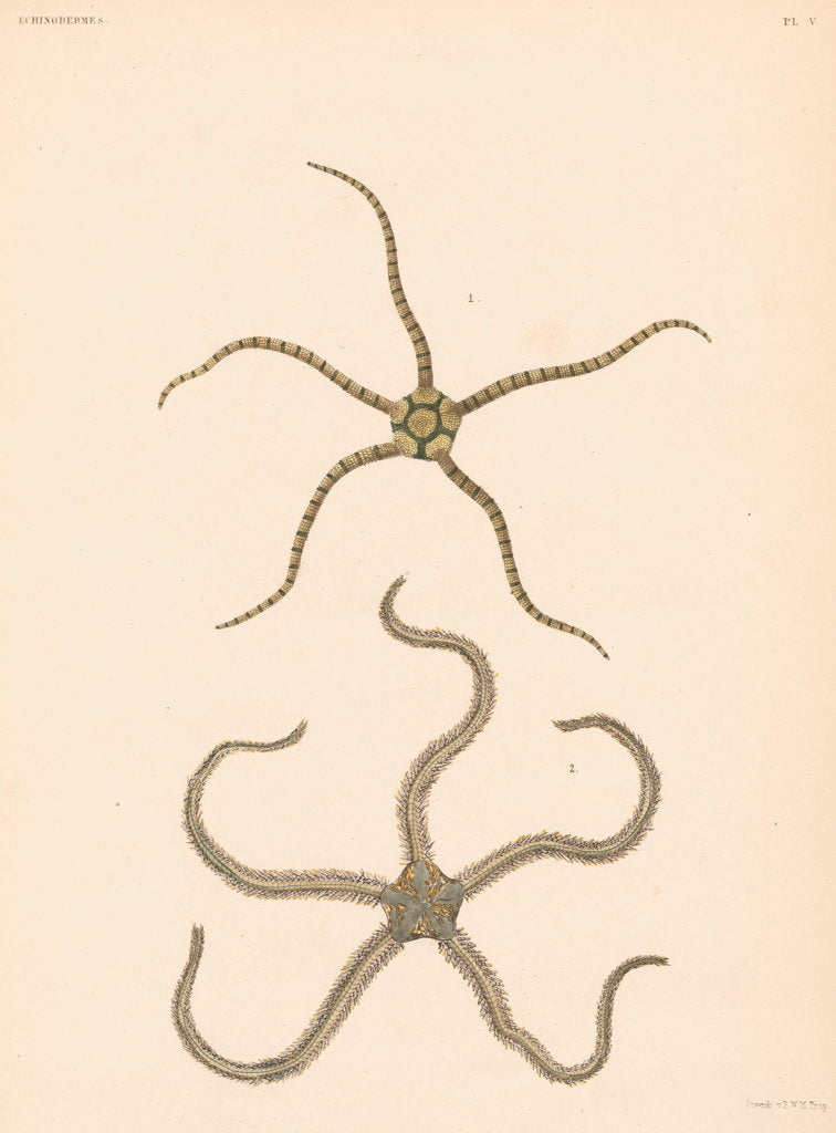 Detail of Brittle stars by unknown