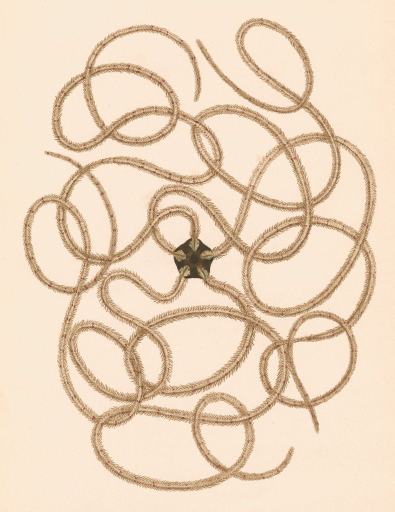 Detail of Ophiothrix longipeda by unknown