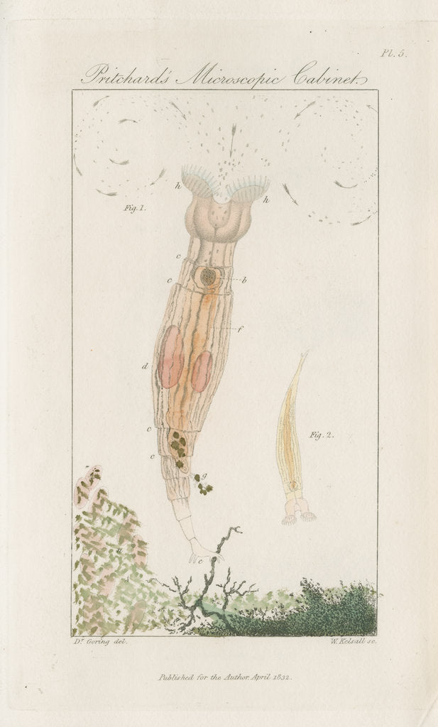 Detail of Freshwater rotifer by William Kelsall