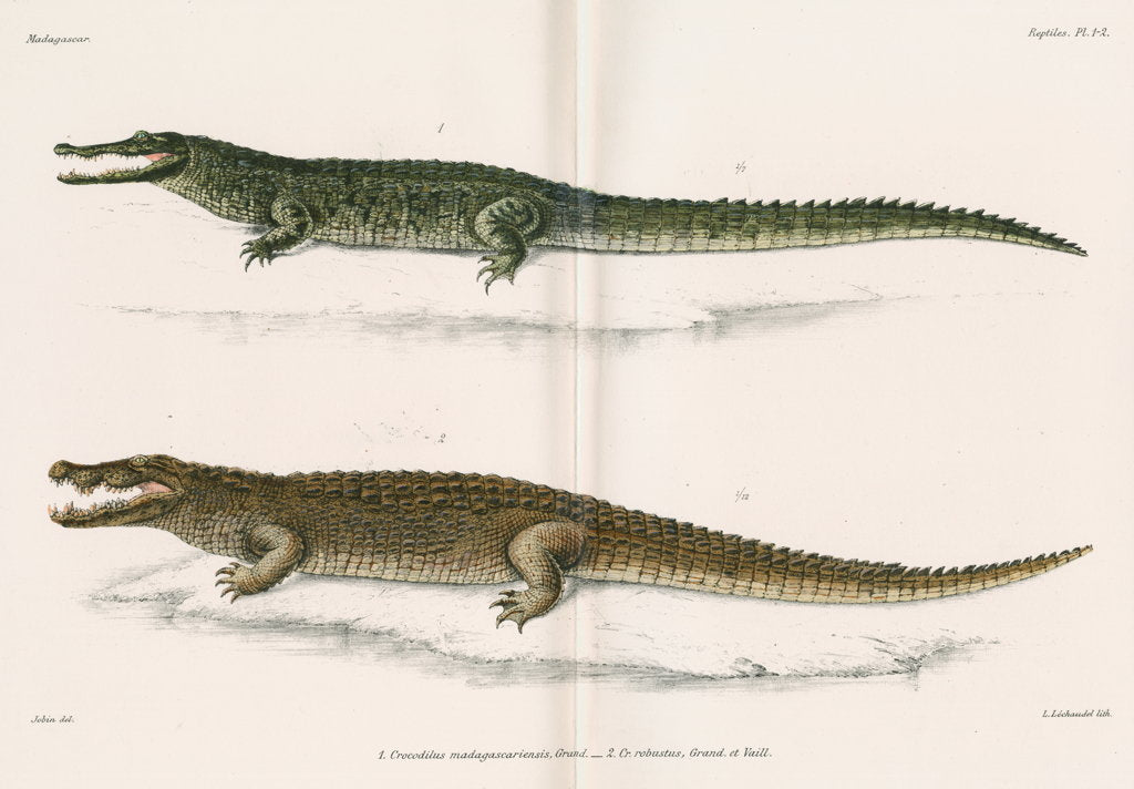 Detail of Madagascan crocodiles by Louis Léchaudel