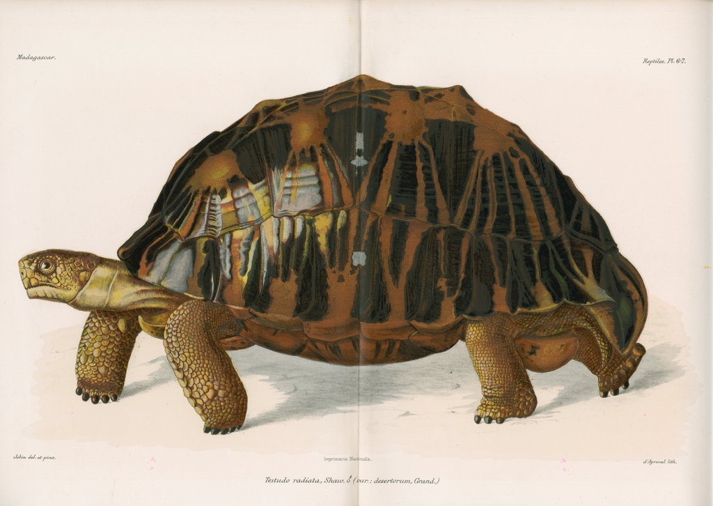Detail of Radiated tortoise by André Revillon d'Apreval