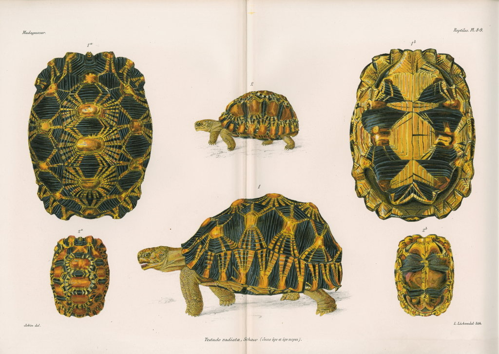 Detail of Radiated tortoise by Louis Léchaudel