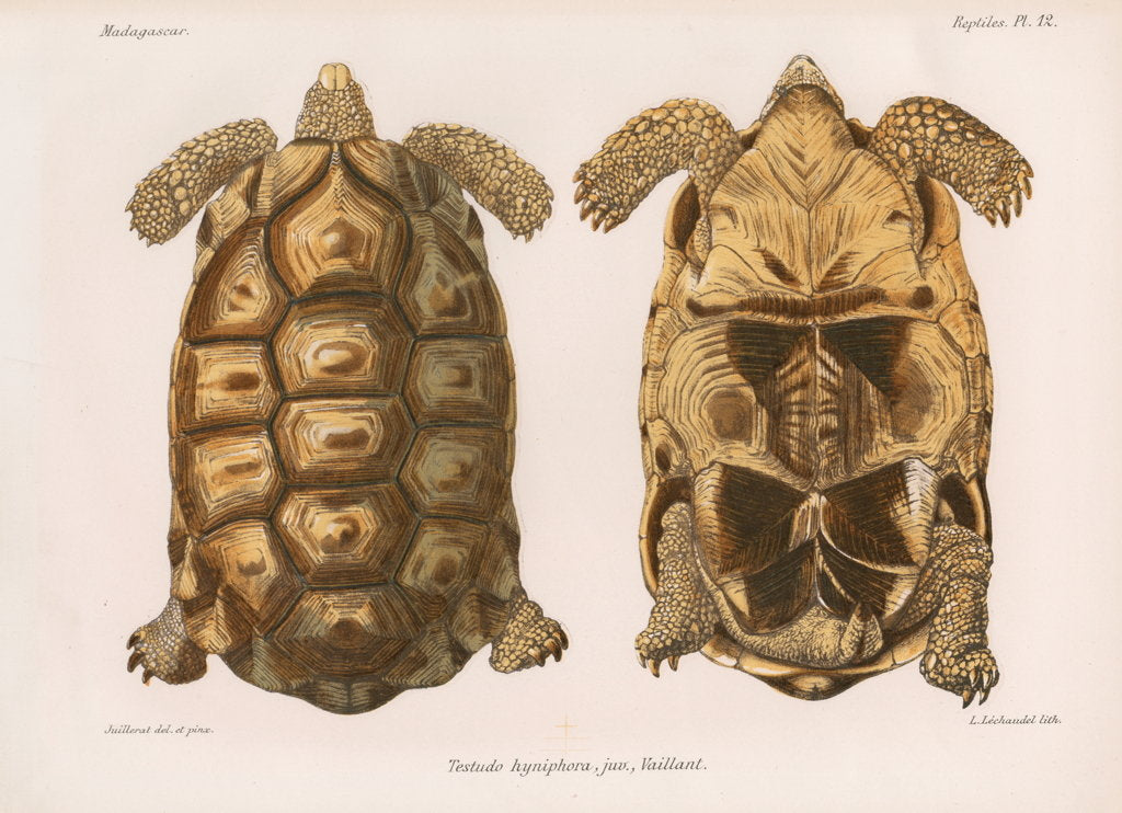 Detail of Angonoka tortoise by Louis Léchaudel