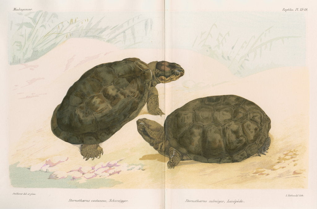 Detail of African mud turtles by Louis Léchaudel