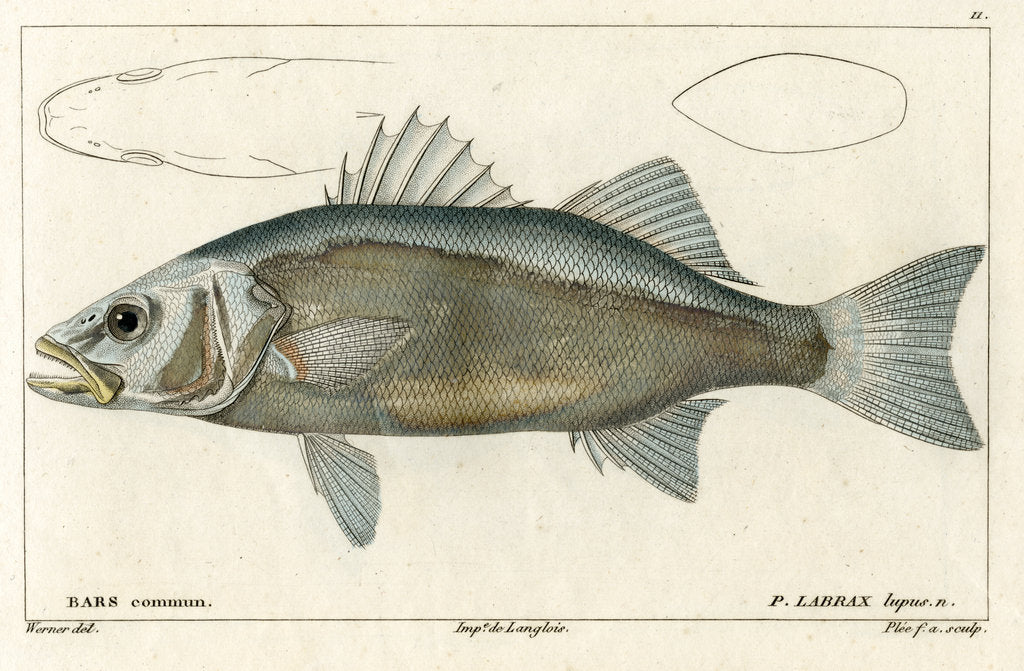 Detail of European seabass by Francois Plée