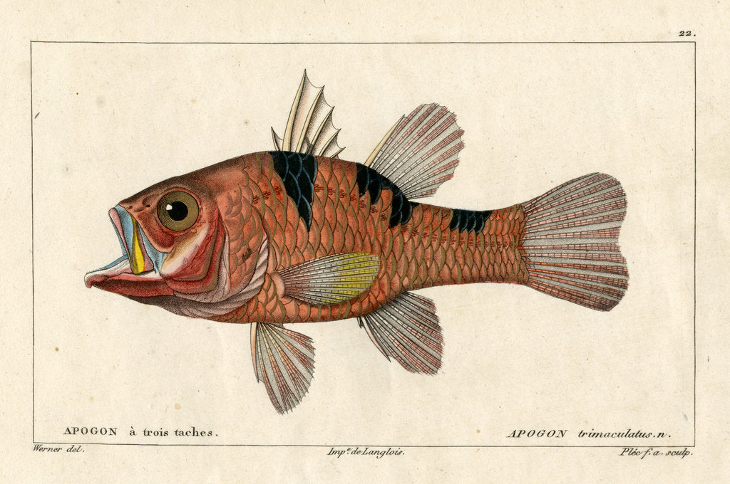 Detail of Three-spot cardinalfish by Francois Plée
