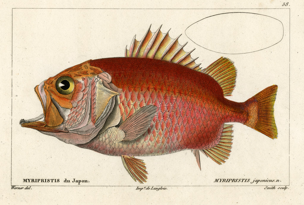 Detail of Japanese soldierfish by Smith