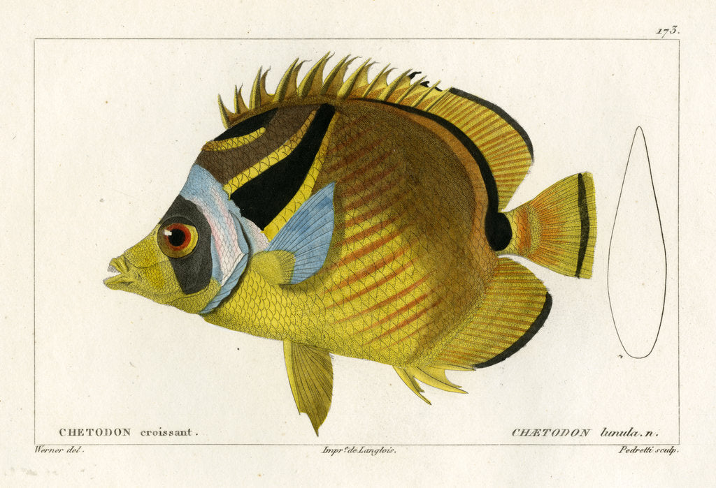Detail of Raccoon butterflyfish by Vittore Pedretti
