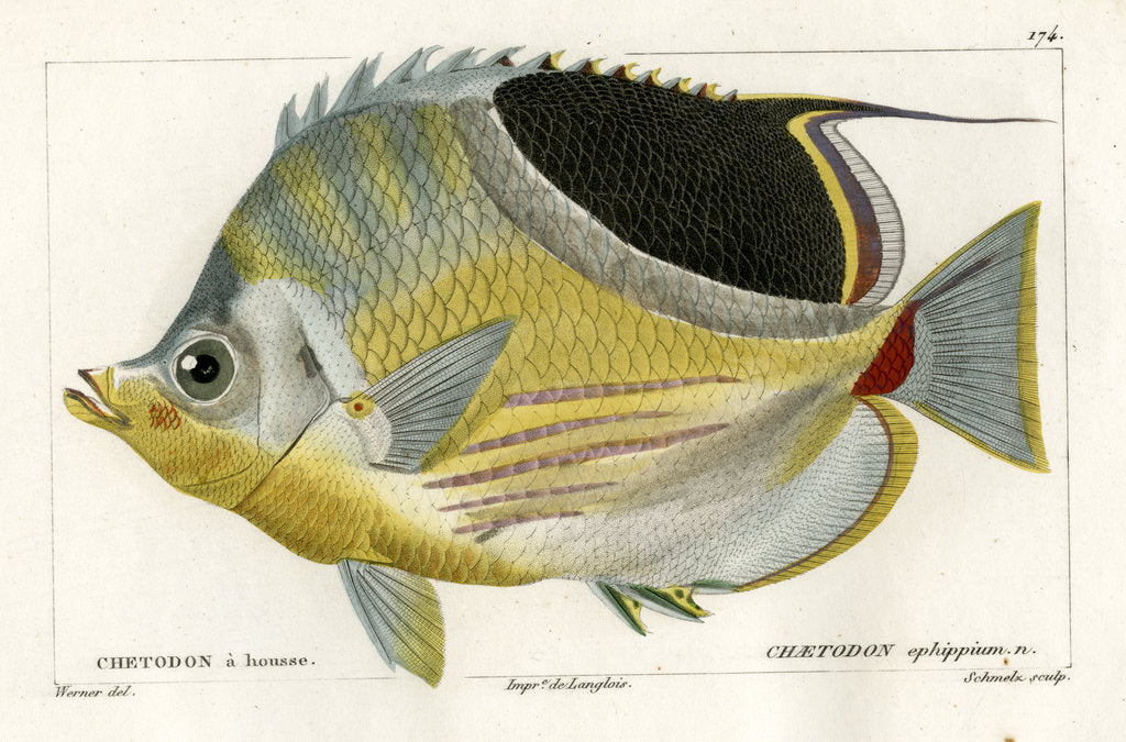 Detail of Saddle butterflyfish by Martin Schmeltz