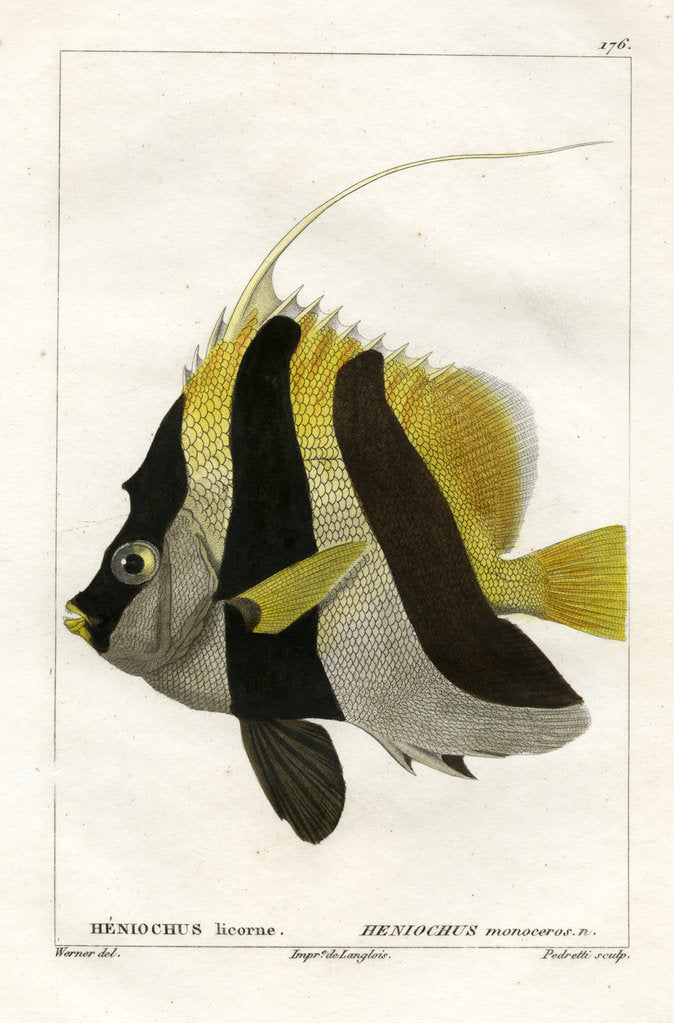 Detail of Masked bannerfish by Vittore Pedretti