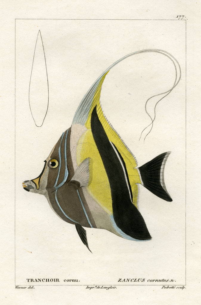Detail of Moorish idol by Vittore Pedretti