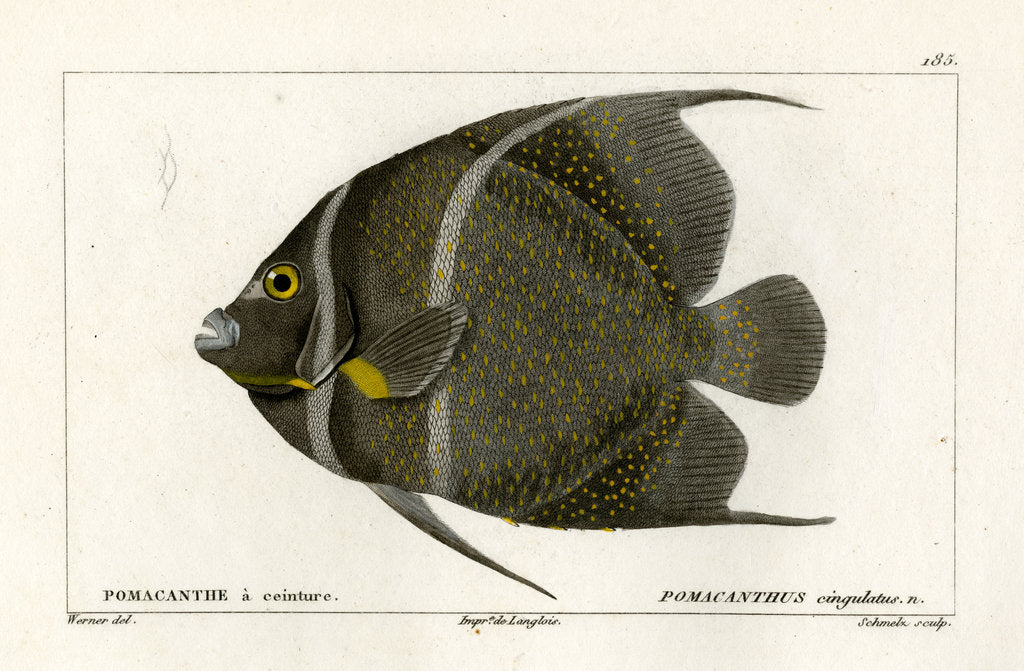 Detail of Grey angelfish by Martin Schmeltz