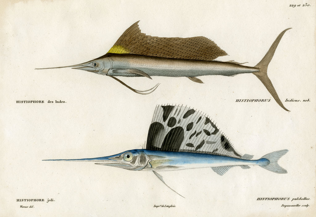 Detail of Sailfishes by François