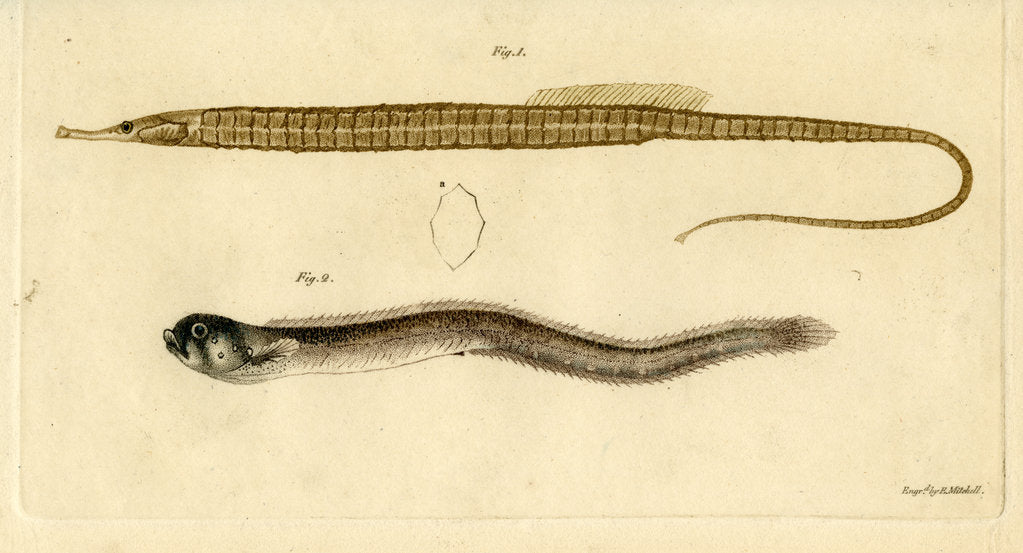 Detail of Snake pipefish and Pearlfish by Edward Mitchell