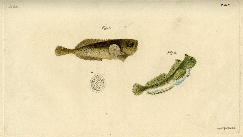 Detail of Montagu's seasnail and Montagu's blenny by Edward Mitchell
