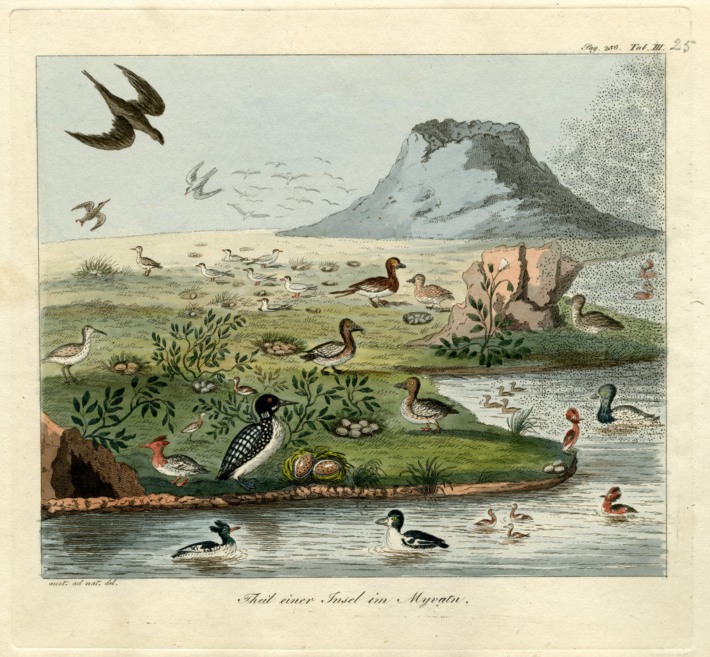 Detail of Waterfowl of Mývatn by Friedrich Eduard Müller